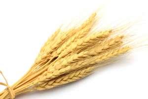 Купить пшеницу - фото